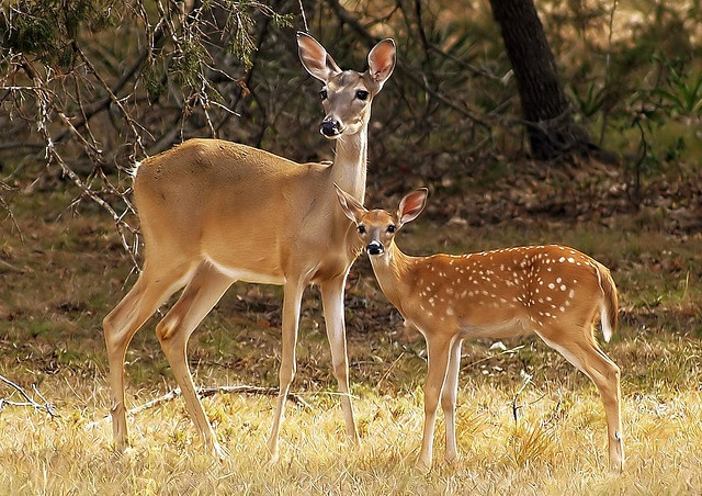 Mama and Baby Deer in the Texas Hill Country just outside of the Cascade Caverns at dusk in the last light of the suns light. by KelliMays, via Flickr