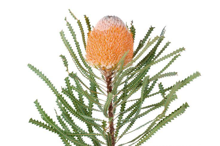Hooker's Banksia (Banksia hookeriana) by photographer Lily Kumpe