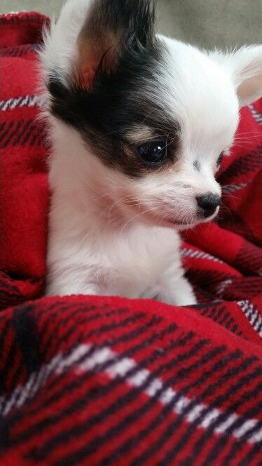 chrome hearts sale Baby chihuahua