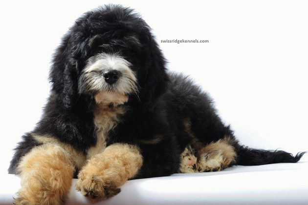 Bernedoodle |   Created in 2004 by Sherry Rupke of Swissridge Kennels, the Bernedoodle is a cross between the Bernese Mountain Dog and the Poodle. Rupke says the Bernedoodle is fun, sociable and a great family dog, but stresses that Bernedoodles need to be trained and socialized from an early age. The Bernedoodle is just as happy playing fetch and jogging with you as he is curling up on the couch and snuggling