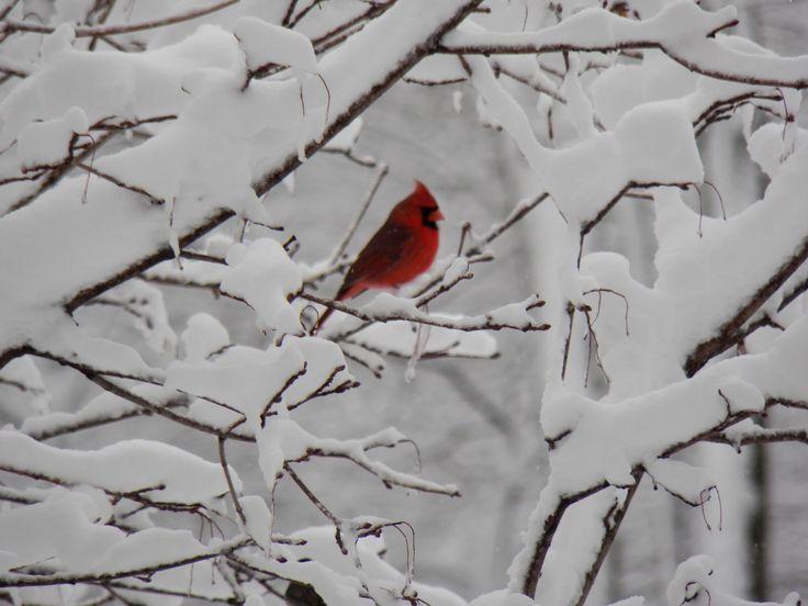 Snow, snow, snow.: Winter Snow, Winter Scene, Wonder Photography, Northern Cardinals, Winter Wonderland, White Christmas, Things Winter, Robins, Beautiful Birds