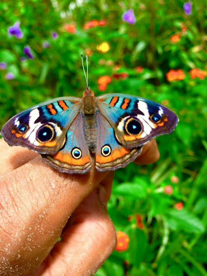 Buckeye butterfly - SO SWEET!! - HE LOOKS AS THOUGH HE HAS TWO GREAT BIG EYES.......WATCHING!!! ⭕️