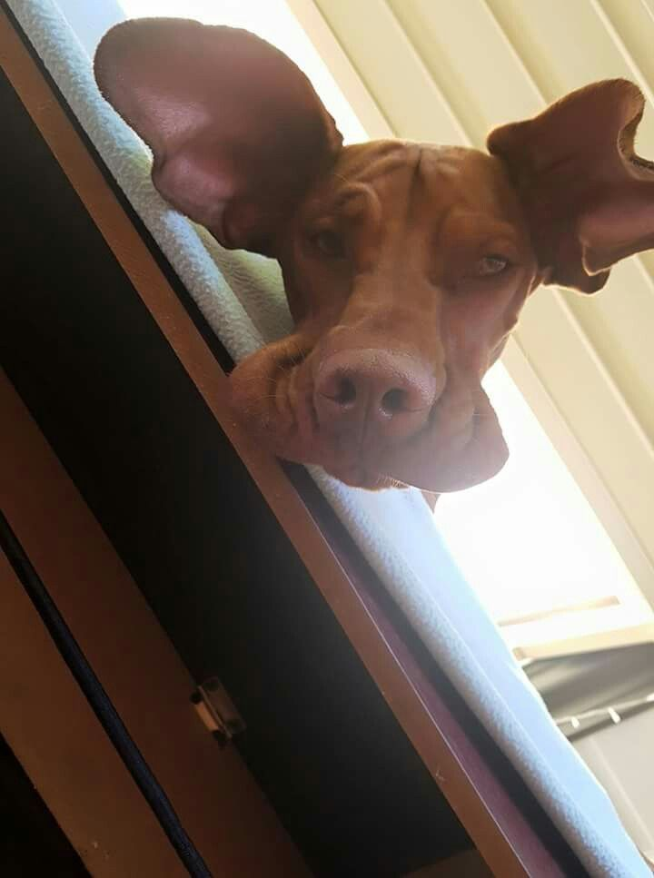 """LOLOL  Silly Vizsla  """"What are you doing waaaay down there, Dad?"""""""