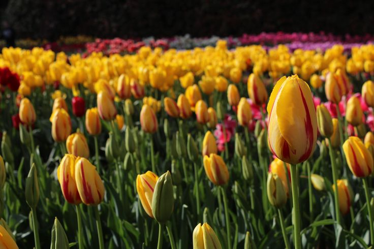 Tulips, tulip farm, melbourne