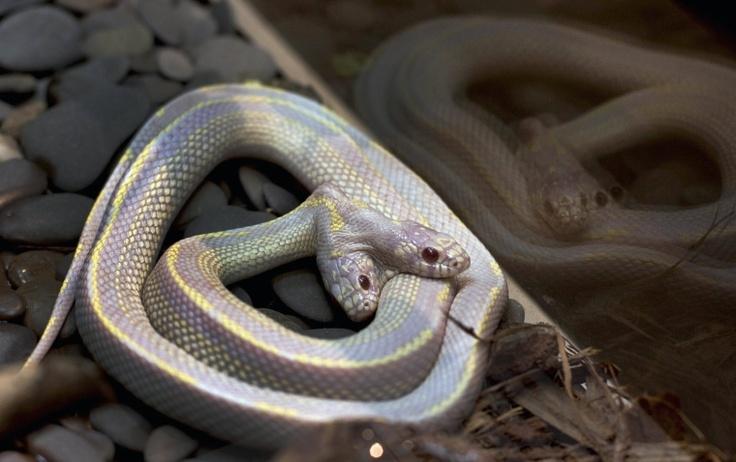 Seltene Hydra:  So etwas wie sie kommt nur ein Mal in einer Million vor: eine Schlange, die mit zwei Köpfen geboren wird. Die äußerst seltene Mutation, mit der sich dieses Exemplar der Kalifornischen Königsnatter herumschlagen muss, wäre in freier Wildbahn ein Todesurteil - im geschützten Habitat des Moskauer Zoos allerdings kann das Tier noch auf einige Jahre hoffen.