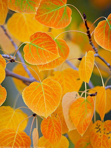 [Resplandor del Álamo temblón] > [*- Álamo temblón: un árbol de álamo con hojas redondeadas, de tallo largo, y por lo general toscamente dentadas que tiemblan incluso ante una ligera brisa.] » Aspen glow