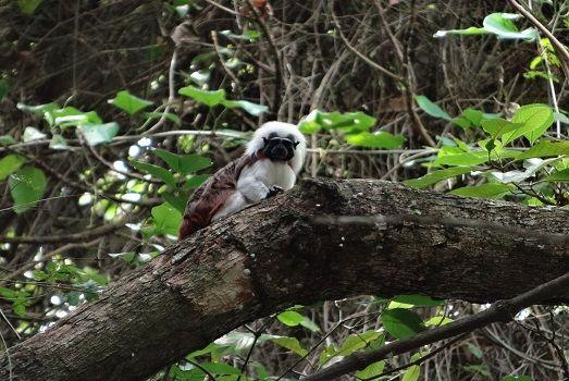 Tamarin monkey @ Tayrona Park #colombia