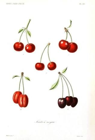 botanical cherry drawings - Google Search