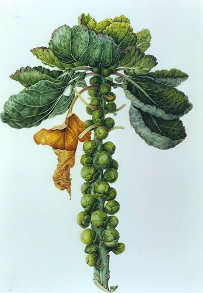 Brussels Sprouts - Watercolour by Christine Stephenson - Botanical Artist