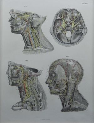 Plate XXV. Nerves and the Head and Neck, by A. Krausse