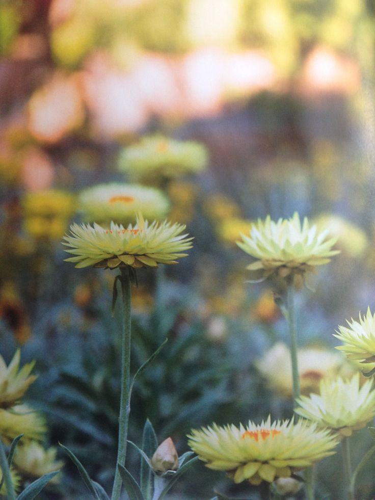 Xerochrysum bracteatum 'Cockatoo'
