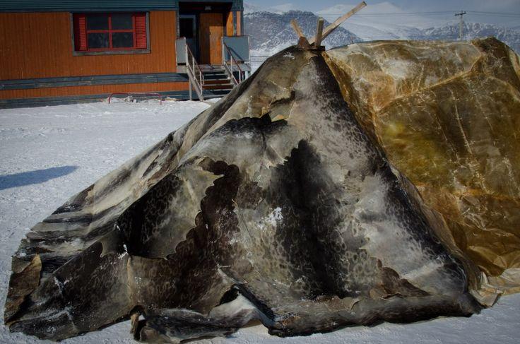 Sealskin tupiq   Passing Down Tradition   Jenny Davison