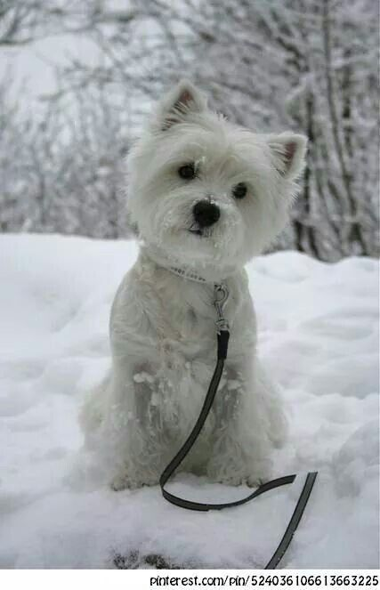Westies love winter!