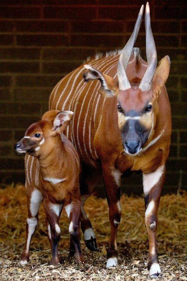 Uma fêmea de bongo e seu filhote. O bongo (Tragelaphus eurycerus) é um cervídeo que habita as áreas florestais da África. Antílope herbívoro, é caracterizado por uma camada marrom-avermelhada com marcações em preto e branco e listras em amarelo e branco. A espécie é uma das únicas de antílopes em que os dois sexos possuem chifres. Estes, variam de 75 cm a 100 cm. O animal atinge 1,3 m de altura e quase 3 m de comprimento.  http://tailandfur.com/beautiful-and-strange-animal-pictures/2/