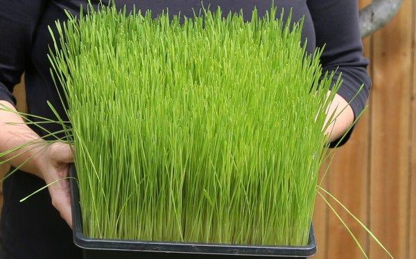 Gro og drik hvedegræs