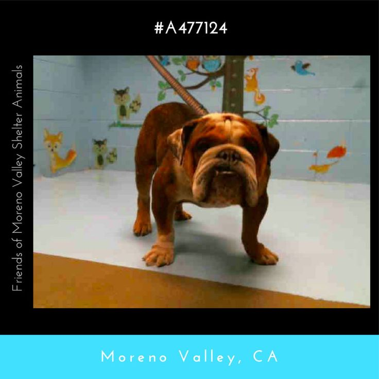 AT RISK FOR EUTHANASIA IF NOT ADOPTED OR RESCUED  DANTE #A477124 (Moreno Valley CA) Male brown and white Bulldog.  I am about 4 years old. I have been at the shelter since Aug 20 2017