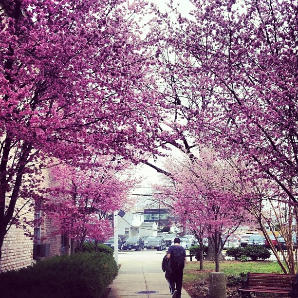Blooming trees on #hofstra 's campus! - @mscoufaras | Webstagram  haha hofstra posted my picture!