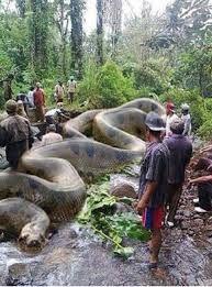 BOGUS:  Living Alongside Wildlife: World's Biggest Snake Anaconda Found in Africa's Amazon River