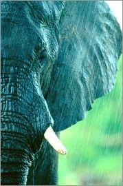 Beverly Joubert - Ein afrikanischer Elefant (Loxodonta africana) im Regen