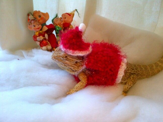 Knitting Pattern For Bearded Dragon : My bearded dragon in the christmas outfit I knitted her. It took me 2 days to...