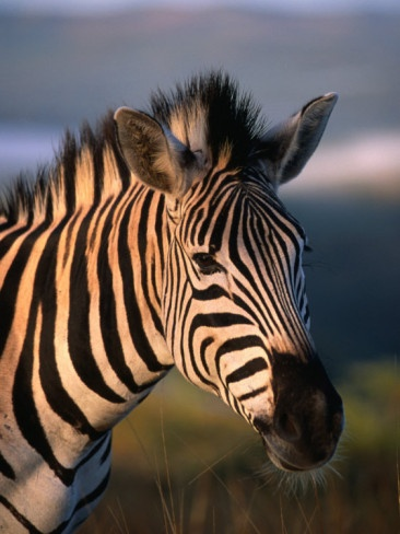 Plains Zebra, Burchell's Zebra, Hluhluwe-Umfolozi Park, Kwazulu-Natal, South Africa by Ariadne Van Zandbergen