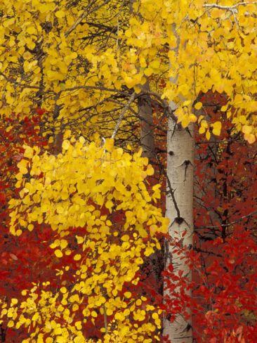 Aspen Trees with Golden Leaves, Wenatchee National Forest, Washington, USA