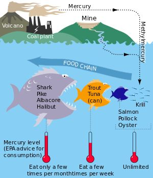 Mercury in Seafood :: Nearby anthropogenic sources, such as coal burning and mining of iron, can contaminate water sources with methylmercury (a highly toxic organic compound of mercury), which is efficiently absorbed in the bodies of fish. Through the process of biomagnification, mercury levels in each successive predatory stage increase.