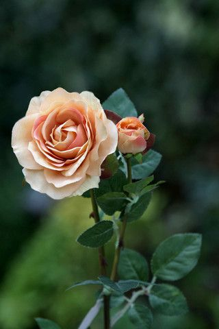 single blush rose - Google Search