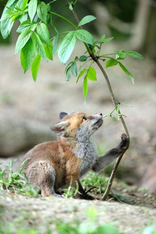 Ka Foxes | Cute animals, Animals, Wild dogs