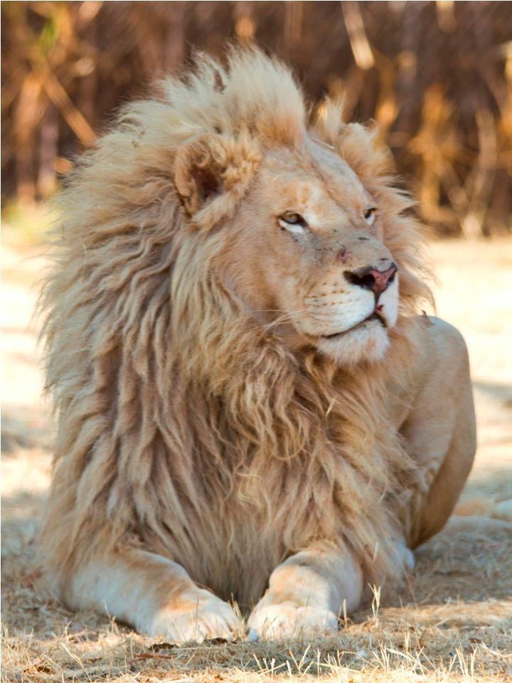 Beautiful White Lion King - I will hug him when I meet him in Heaven!