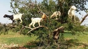 Goats on tree
