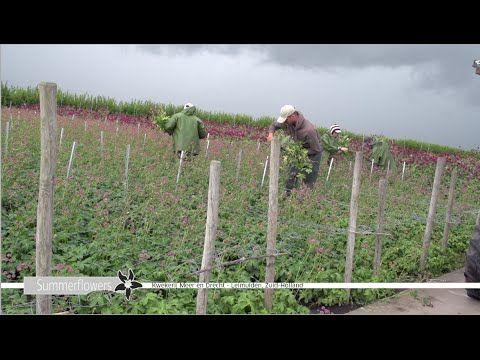 Summerflowers Promo - Kwekerij Meer en Drecht