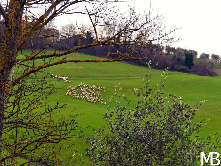Campagna toscana con gregge di pecore