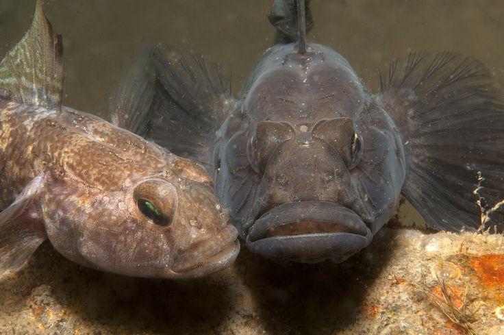 Nidi pesci, mondo sommerso, subacquea, mar mediterraneo, Massimo Boyer