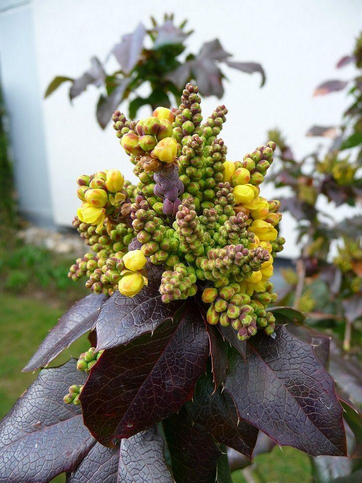 Tall Oregon Grape (Mahonia [Berberis] aquifolium), Pacific northwest native shrub