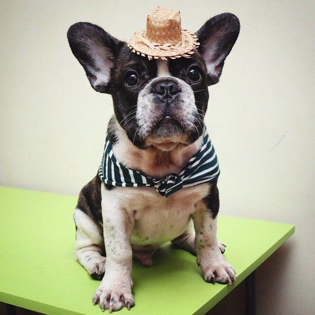 Feliz São João Pessoal!!!!!! Vamos aproveitar o feriado para curtir bastante e vamos com moderação nos fogos de artifício, pois nossos ouvidos são sensíveis!!!!! Beijão do matuto Scott! Anarriê!  #instapet #instadog #petstagram #instafrenchie #instabulldog #instagood #frenchbulldog #frenchbulldogpics #bulldog #bulldoguefrances #igbulldogs_worldwide #igbulldogs #picoftheday