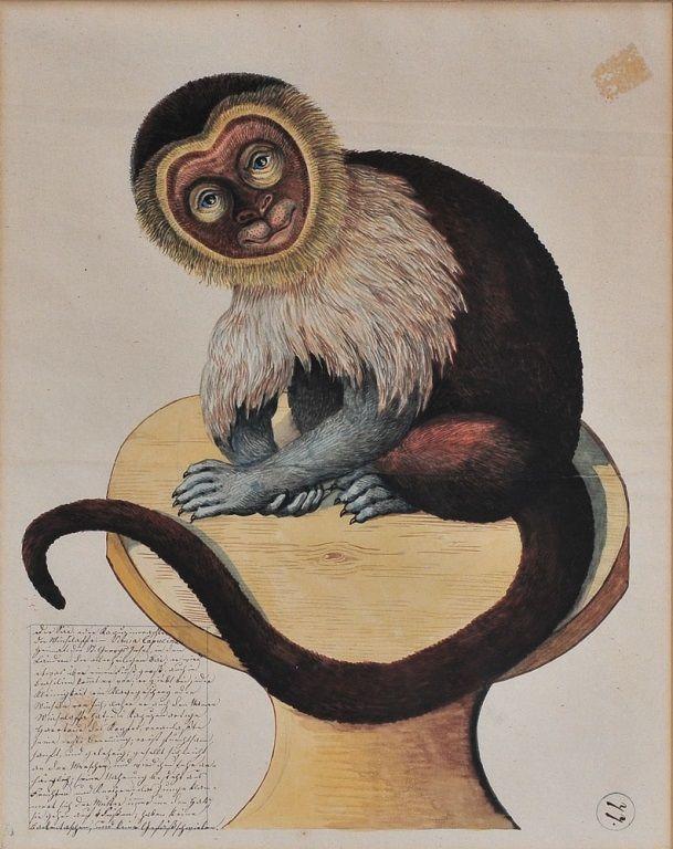 German School Capuchin Monkey watercolor on paper late 18th century