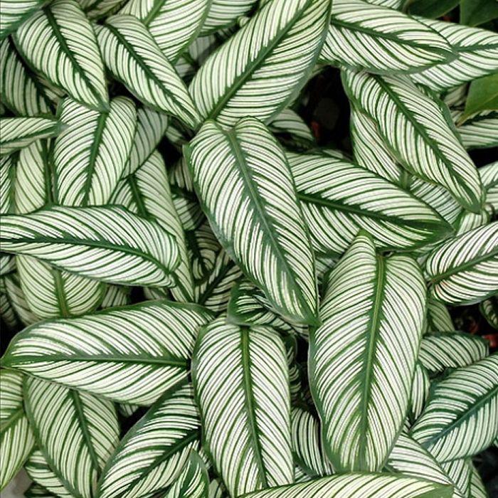 #Calathea ornata  Planta disponível na nossa loja!