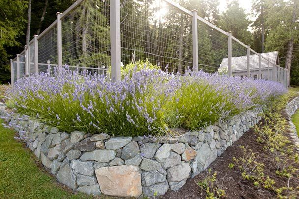 deer fence protecting garden - surrounded by lavender and rock wall