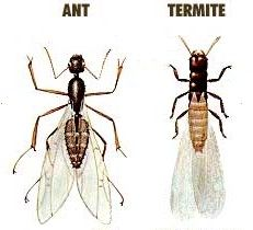 Indoor Flying Ants Are Not a Good Sign