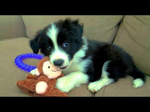 Baby Border Collie Puppies Who Are Too Cute To Be Real Youtube