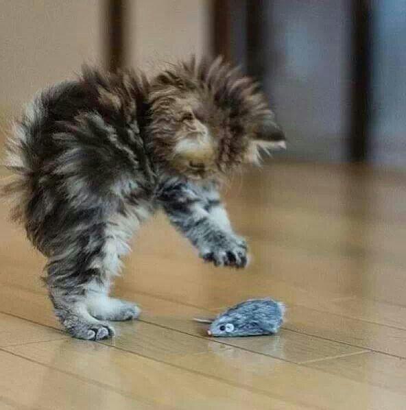 Tiny kitty learning to pounce!