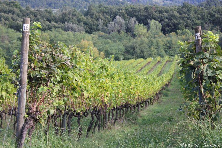 Fattoria Colleverde wine yard