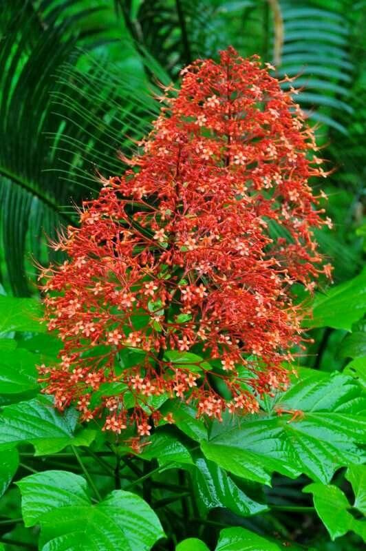 Pagoda Plant Krishnakireedam In Malayalam Flowers Of 400 x 300