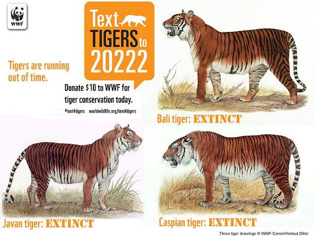 Image result for extinct tiger