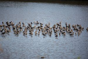 Black tailed godwits at Port Sunlight River ParkRon Thomas / The Land Trust