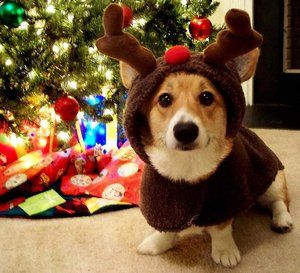 Reindeer corgi...Will better get prepared for Christmas cause this is what he is wearing!!!