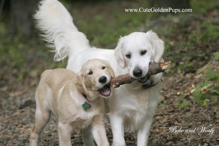 Golden Retrievers Retriever English White Cream Nj De Ri Ma Md Ct Ny Pa Ca Hunde