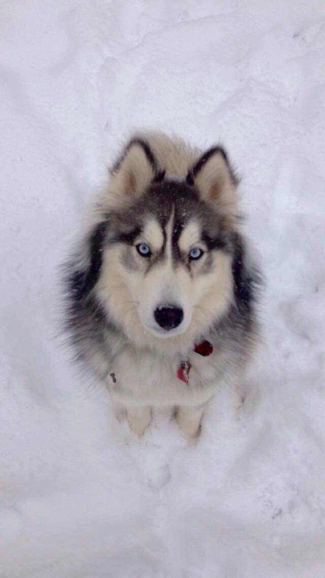 Siberian Husky Wooly Coat Siberianhusky Husky Dogs Alaskan