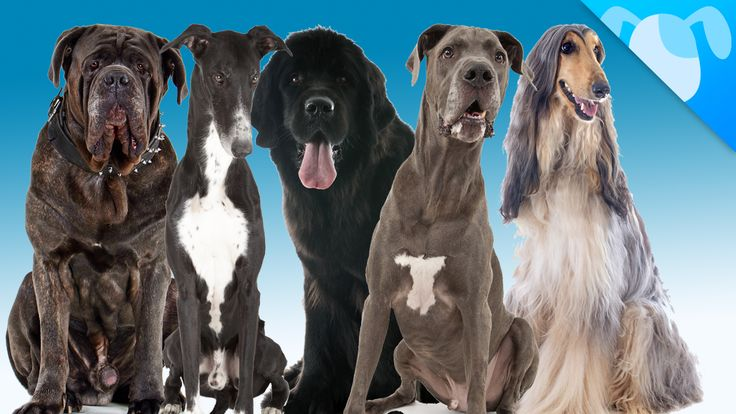 Big Dogs Like City Living Too Here Are Five Large Breeds
